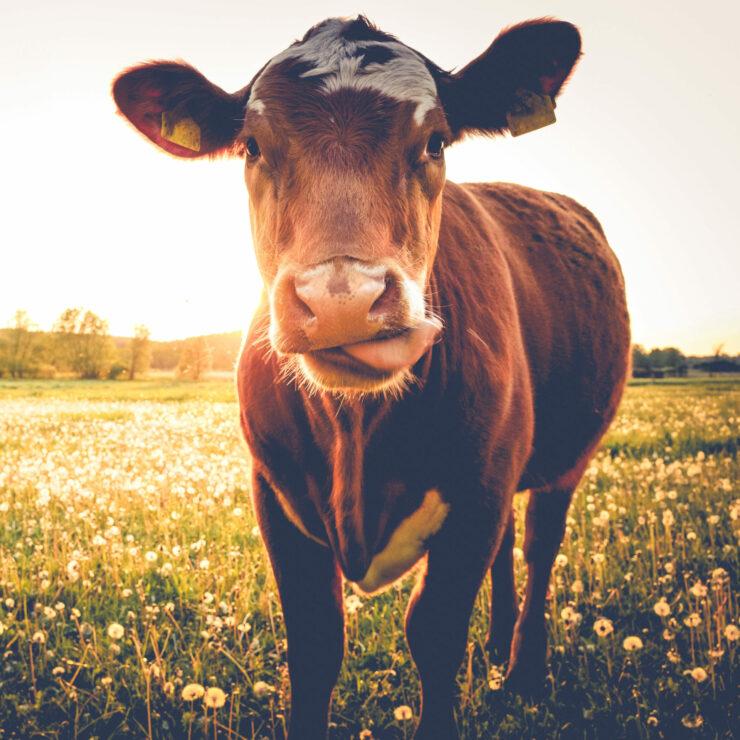 Veterinärwesen: Eine Kuh steht auf der Weide.